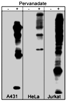 PAB7897 - Phosphotyrosine