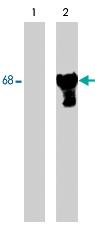 PAB7932 - Paxillin /  PXN