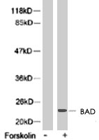 PAB8185 - Bcl-2-like 8