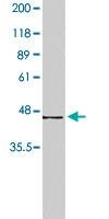 PAB8502 - Beta-3 adrenergic receptor