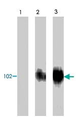 PAB8516 - Phototropin-2