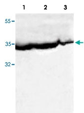 PAB8528 - Bcl-2-like 5