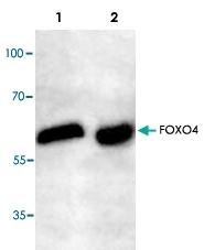 PAB8532 - FOXO4 / AFX1 / MLLT7