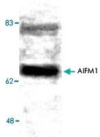 PAB8533 - AIFM1 / AIF