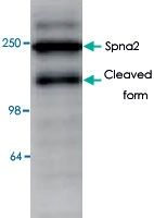 PAB8536 - Spectrin alpha chain (brain) / SPTAN1