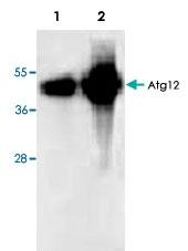 PAB8542 - ATG12 / APG12
