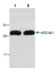 PAB8543 - APG16L / ATG16L1