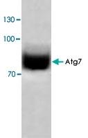 PAB8545 - APG7L / ATG7