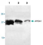 PAB8546 - Apolipoprotein A I / APO AI