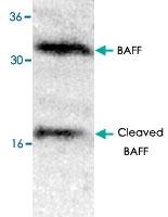 PAB8561 - CD257 / BAFF