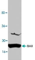PAB8564 - Bax