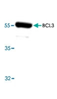 PAB8568 - Bcl-3