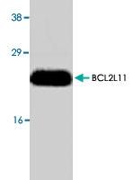 PAB8580 - Bcl-2-like 11
