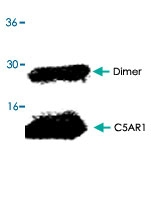 PAB8602 - CD88 / C5R1