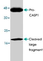 PAB8614 - Caspase-1