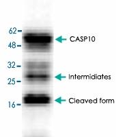 PAB8615 - Caspase-10