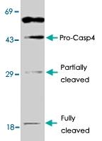 PAB8616 - Caspase-4