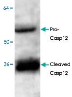 PAB8617 - Caspase-12