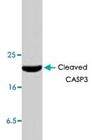 PAB8619 - Caspase-3