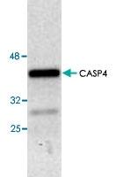 PAB8621 - Caspase-4
