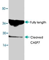 PAB8626 - Caspase-7