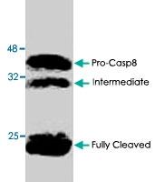 PAB8628 - Caspase-8 / FLICE