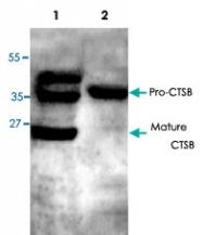 PAB8632 - Cathepsin B