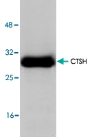 PAB8634 - Cathepsin H