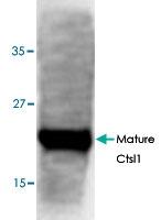 PAB8637 - Cathepsin L1
