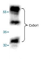 PAB8663 - CX3CR1 / GPR13
