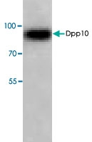 PAB8686 - DPP10 / DPRP3