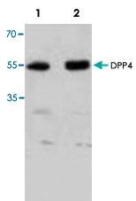 PAB8687 - CD26 / DPP4