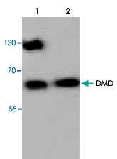 PAB8692 - Dystrophin / DMD