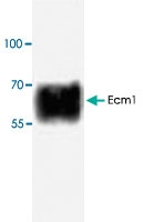 PAB8694 - Secretory component / ECM1