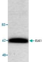 PAB8697 - ELK1