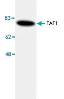 PAB8707 - FAF1