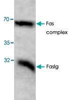 PAB8710 - CD178 / Fas Ligand