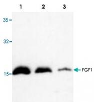 PAB8711 - FGF acidic / FGF1