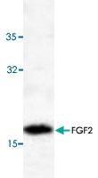PAB8713 - FGF basic / FGF2
