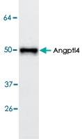 PAB8715 - ANGPTL4 / FIAF