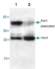 PAB8717 - Ficolin-1
