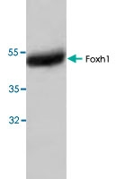 PAB8724 - FOXH1 / FAST1