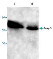 PAB8728 - FOXP3