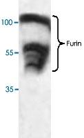 PAB8731 - Furin