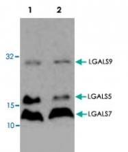 PAB8737 - Galectin-9