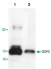 PAB8738 - GDF3