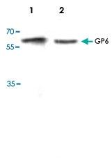 PAB8742 - Platelet glycoprotein VI