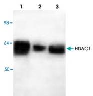 PAB8747 - HDAC1