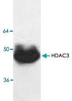 PAB8751 - HDAC3