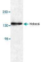 PAB8753 - HDAC6